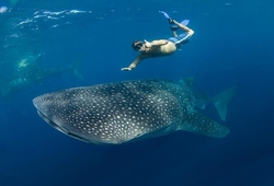 Go swimming with the Whale Sharks